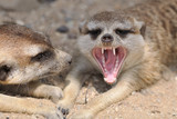Meerkat with open mouth