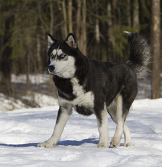 Siberian husky run on snow