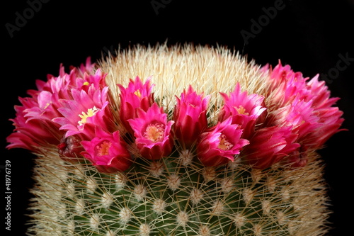 Flowers of cactus (Mammillaria)