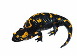 Fire Salamander  isolated on white background