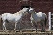 Two Lipizzaner stallions in front of the stall