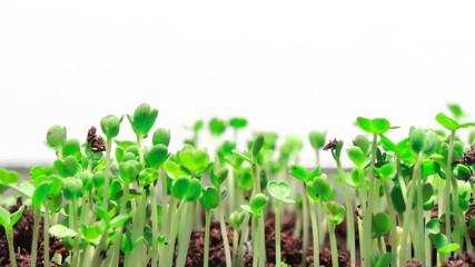 Growing Grass, Closeup, Timelapse
