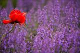Fototapety Mohn in Violett