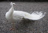 Fototapeta ptak - albino - Ptak