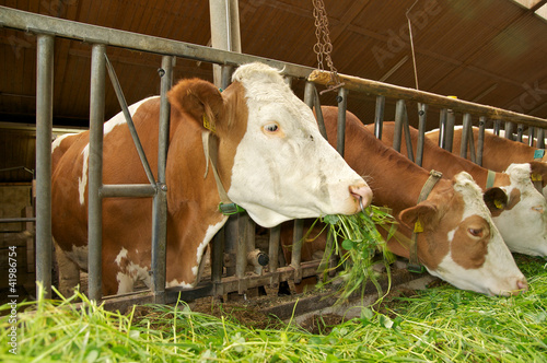Kühe beim fressen im Kuhstall