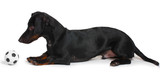 black little dachshund dog and ball isolated on white