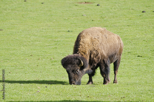 Grazing Bison in green grassy field