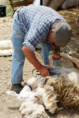 Sardegna, vecchio pastore taglia a mano la lana di pecora