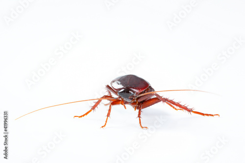 Cockroach bug isolated on white background
