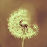Fototapety Dandelion