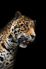Jaguar head in darkness, isolated