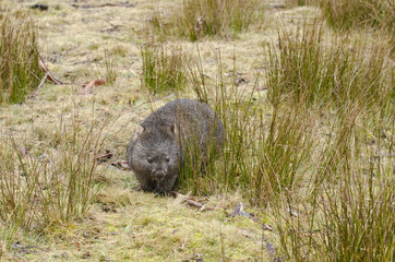 Wombat in Cradle Mountain park