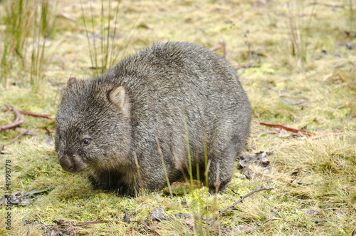 Wombat in Cradle Mountain National Park, Tasmania, Australia