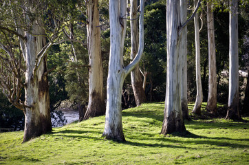 Eucalyptus trunks in soft afternoon light. Tasmania, Australia