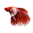 red and white thai fighting fish isolated white