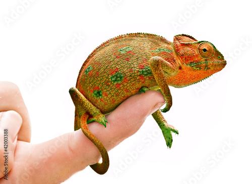 Chameleon on hand
