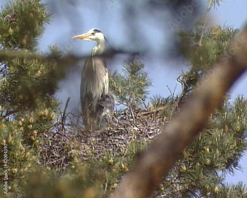 Grey Heron Ardea cinerea in nest with brood. IUCN Red List bird