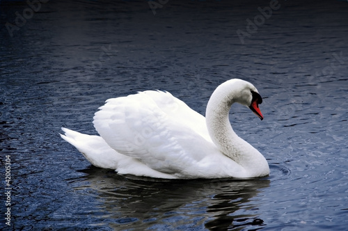 Swan on a dark Lake