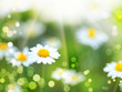 abstract backgrounds with daisy flowers and sun beam