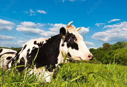 Aluminium cow grazes