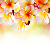 Fototapety Frangipani Tropical Spa Flower. Plumeria Border Design