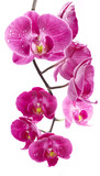 Fototapety Orchid flowers, isolated on white background