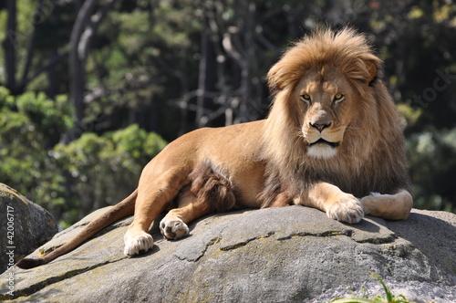 Fototapeten,löwe,afrika,loudspeaker,wildlife