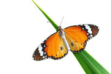 Alive monarch butterfly isolated on white, clipping path poster