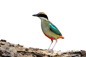 bird (Fairy pitta) isolaed on white