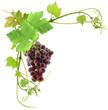 grappe de raisin et feuilles de vigne