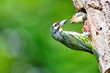 Coppersmith barbet bird feeding her young one