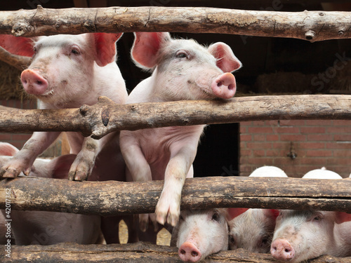 Newborn curious pigs in a stable
