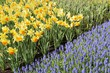 narcissi and muscari, keukenhof
