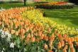 orange imperor tulips, netherlands
