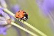 Seven spot ladybug (Coccinella septempunctata) on stem