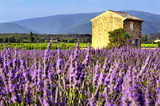 Fototapety Lavender in the landscape