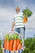Proud carrot farmer picking fresh carrots in his basket