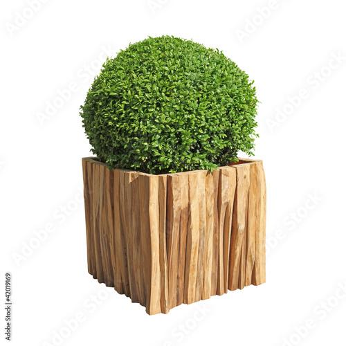 buis taillé dans bac en bois