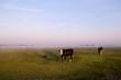cows on Dutch pastoral