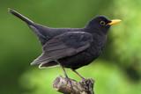 Blackbird - Fine Art prints