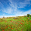 A beautiful field of poppies in a green grass under blue sky
