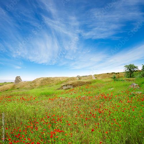 Piękne pola maku w zielonej trawie pod błękitnym niebem