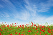 Red poppies on a background of blue sky
