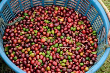 Bin full green coffee in Costa Rica