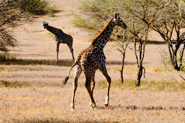 Giraffe at the African savannah in motion.