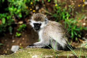 Monkey baby. Nakuru National Park - Kenya