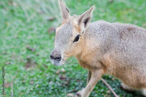 Patagonian mara lying on the green grass