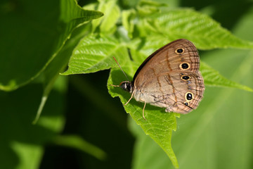 Little Wood Satyr Butterfly