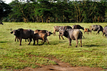Few african buffaloes in a field of grass. The photo is taken in