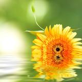 flor de la gerbera sobre el agua